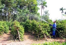 Vùng trồng nguyên liệu củ ba kích